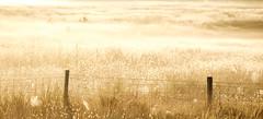 Golden morning (Wouter de Bruijn) Tags: fujifilm xt1 fujinonxf90mmf2rlmwr gold golden light sunrise morning dawn fence web spider grass meadow nature landscape soft calm tranquil zen serene quiet middelburg walcheren zeeland nederland netherlands holland dutch