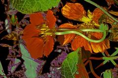 Tom Thumb! (maginoz1) Tags: abstract art flowers tomthumb daisy foliage contemporary curves manipulation bullarosegarden alisterclarkmemorialgarden bulla melbourne australia winter july 2017 victoria crazygeniuses