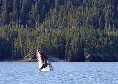 Breech (espeeus) Tags: whales alaska prince william sound water beauty wildlife humpback