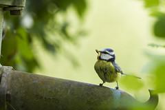 Koolmees met nest in oude waterpomp (elly-b56) Tags: koolmees parus major waterpomp canon 7d vogel bird