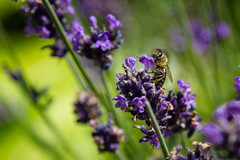 Lavender Bee (Robert Kretschmer) Tags: animal ägypten wild wildlife work egypt europe endangered tier tiere summer culture day dynamic germany life light leben berlin nature agriculture bee insect species