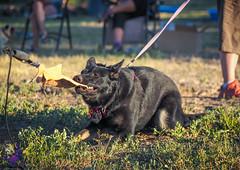 P7151164 (Songdog Studios) Tags: green dog neumond womensretreat 2017 k9 schutzhund ipo