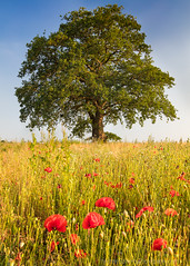 Summer Poppies (Michael Sowerby Photography) Tags: 1635mm 5dsr england evening fields send sunset surrey canon colour dusk field flowers landscape photography poppies poppy red summer sundown sunshine tree trees