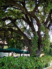 Quercia tricentenaria (maximilian91) Tags: quercia oaktree italia italy liguria laspezia