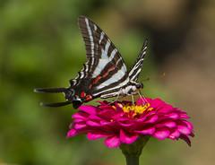 Zebra Swallowtail (Eurytides marcellus) (AllHarts) Tags: zebraswallowtaileurytidesmarcellus shelbyfarmsparkpublicgardens memphistn butterflygallery naturescarousel ngc npc