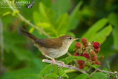 Cetti's warbler, Cettia cetti (gcampbellphoto) Tags: cettiswarbler cettiacetti warbler passerine bird avian nature wildlife mallorca salbufera spain gcampbellphoto