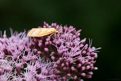 (Anita van Rennes) Tags: rozenblaadje miltochrista miniata dagactieve nachtvlinder moth rosy footman eupatorium cannabinum koninginnekruid hemp agrimony