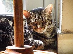 Brucie in the morning sun (rospix+) Tags: rospix 2017 july wales uk animal cat tabby tabbycat sleep sleeping light