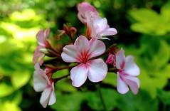 Pretty Flowers, Morton Arboretum 49 (X70) (Mega-Magpie) Tags: fuji fujifilm x70 nature lovely pretty flowers green pink white cantigny park wheaton dupage il ilinois usa america