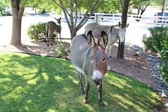 7-13-17 depot visitors 2 (EllenJo) Tags: donkeys burros clarkdaleburros canonrebel july13 2017 ellenjo verdecanyonrailroad depot traindepot equine