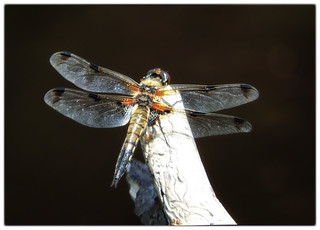 Four-spotted Chaser on Thursley Common