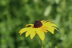 Black-eyed Susan (vischerferry) Tags: blackeyedsusan wildflower flower