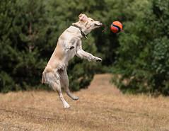 Collin 10 Months (Djiezes Kraaist) Tags: collinn chuckit fetch jump goldenretriever fun ball