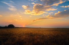 From the field (Pásztor András) Tags: d5100 dslr nikon andras pasztor photography sunset nature landscape field wheat sun light sky clouds 18mm nikkor 1870mm