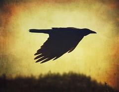 Raven in the prowl in Buxton, NC near the beach (dqpagan) Tags: eerie dark spooky creepy bif northcarolina nc outerbanks obx beach birdinflight birds bird raven