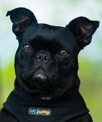 Pugsley (Robert Ron Grove 2) Tags: dog bug portrait black pug
