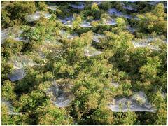Spinrag in morning dew (Luc V. de Zeeuw) Tags: dew mantgum morning plant spider spinrag vegetation webs friesland netherlands