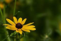 Black-eyed Susan (Wild Bill in MN) Tags: a77m2 sony 135stf stf sal135stf wildflower blackeyedsusan rudbeckiahirta yellow flickrexplore