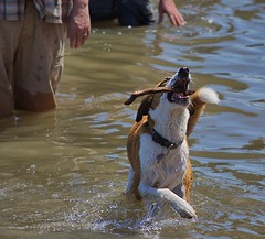 The Catch (swong95765) Tags: dog stick animal canine pet water retrieval catch