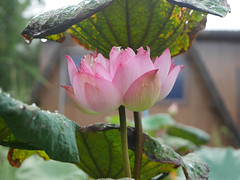 Nelumbo nucifera 'Verma' Thailand 012 (Klong15 Waterlily) Tags: nelumbonucifera