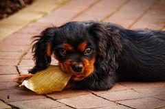 Eliot (Karol Kuchcinski) Tags: dog puppy eliot black sweet cavalier kings charles spaniel garden wrocław poland