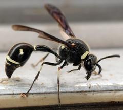 13.5 mm female potter wasp (ophis) Tags: hymenoptera aculeata vespoidea vespidae eumeninae eumenes eumenesfraternus potterwasp