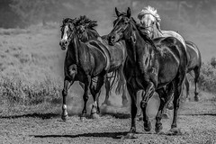 horses running back to pasture - Explore (Marvin Bredel) Tags: explore horses blackandwhite running trianglexranch wyoming jacksonhole grandtetonnationalpark tetons ranch duderanch nikond500 marvinbredel tamron150600