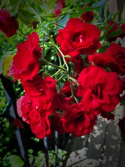 In My Sisters Garden (CCphotoworks) Tags: gardens outdoors nature blooming flowers red carpetroses roses