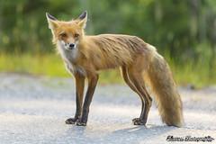 IMG_4357 (Ghorvei) Tags: red fox ghorvei ghorveiphotography redfox ontario canada wild wildlife wildfox outdoor outdoors killarney killarneyprovincialpark