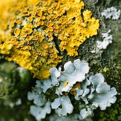 Macro Mondays#Texture (Inka56) Tags: texture macromondays lichen moss tree