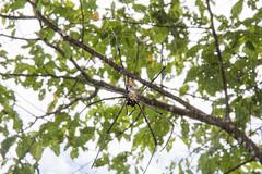 IMG_5690-1 (vlee1009) Tags: behavior mating macro spider 2017 wulai summer taiwan nature canon 60d 100mm 生態