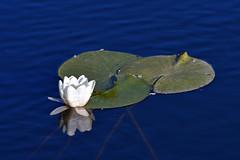 Ninfea (luporosso) Tags: natura nature naturaleza naturalmente nikon fiori flowers flower fleur flor palude colfiorito