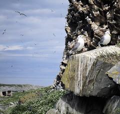 IMG_1384 (www.ilkkajukarainen.fi) Tags: happylife museumstuff finnmark ruija outdoor nature luonto matkailu travel traveling barents sea mei saari norja norway hornoya vardö linnut birds lintusaari