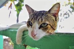 Miradas (Tato Avila) Tags: colombia tolima gato cat peludo felinos bigotes animal colores cálido naturaleza nikon vida