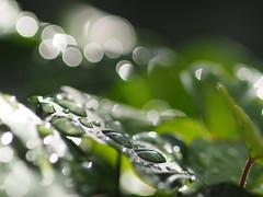 Tropfen (nirak68) Tags: 2017ckarinslinsede lübeck 198365 schleswigholstein de efeu ivy raindrops wasser tropfen 105mm nikkor peαrlѕoғиαтυre drops