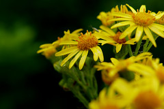 like suns in the rain (nelesch14) Tags: benweed summer rainy yellow green macro closeup flower drops dark contrast