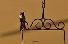 Hummingbird_7331 (Porch Dog) Tags: 2017 garywhittington kentucky nikond750 fx nikkor200500mm hummingbird backyard birdfeeder nature wildlife feathers bird avian rubythroated