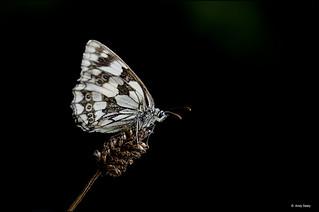 Marbled White