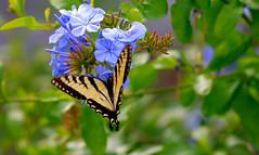 Kanada (Rolfmundi) Tags: kanada perce pflanze
