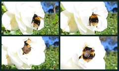 Bumble Bum!  Pt.2. The Action Sequence (Snorkle-suz) Tags: bumble bee flower closeup newzealand nz aotearoa canonpowershotsx700hs bumblebee wings yellowandblack collage nature outside