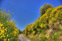 Umbria :  la regione delle Ginestre  * (argia world 1) Tags: umbria ginestre cespugli bushes sentiero path cielo sky blu blue landscape paesaggio albero tree strada street