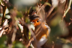 20170121-2109_DxO.jpg (Geoffrey Denman) Tags: conwy wales place lenses canonlens ef300mmf4lis bird unitedkingdom canoneos80d robin canon camera naturereserve animal