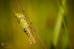 Green Grasshopper (ABPhotosUK) Tags: animals canon dartmoor devon ef100400mmisii ef25mmextensiontube eos7dmarkii grasshoppersandcrickets greengrasshopper invertebrates omocestusviridulus seasons summer summerwatch wildlife