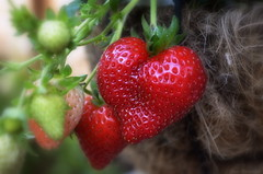 When your Garden Love's you back (Captions by Nica... (Fieger Photography)) Tags: strawberries strawberry plant fruits fruit red macro outdoor graden nature food quebec canada
