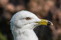 Ringed-billed Gull (Glenn R Parker) Tags: gulls ringbilledgull