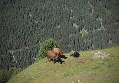 coucou les copines! (bulbocode909) Tags: valais suisse mottec zinal valdanniviers alpagedebarneuza alpages montagnes nature vaches forêts arbres vert