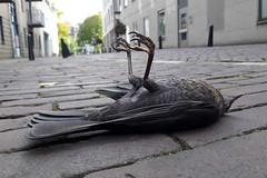 Tragedy (Hans & Liek) Tags: netherlands nederland utrecht city stad spreew dodespreeuw starling deadstarling vogel bird dodevogel deadbird