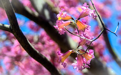 Japanese Cherry Blossoms (Amazing Aperture Photography) Tags: flower blossom cherryblossom japanesecherryblossom pink bloom spring colorful vibrant garden tree macro nature petals flora plant sonya6000