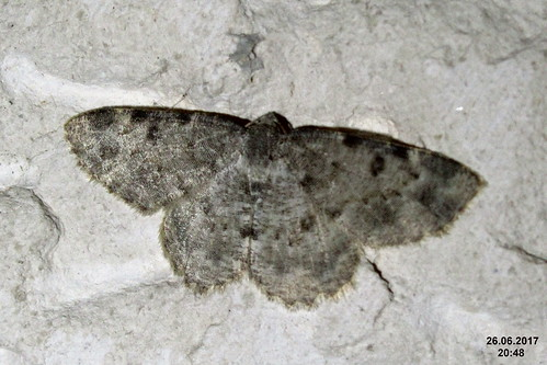 Charissa cf. supinaria or intermedia (Maries)