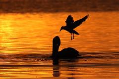 Brown Pelican Silhouette Catching with Seagull at Sunset (dbadair) Tags: bird flight sunset ft desoto wildlife nature shore gulf 7dm2 canon sun dusk evening twilight